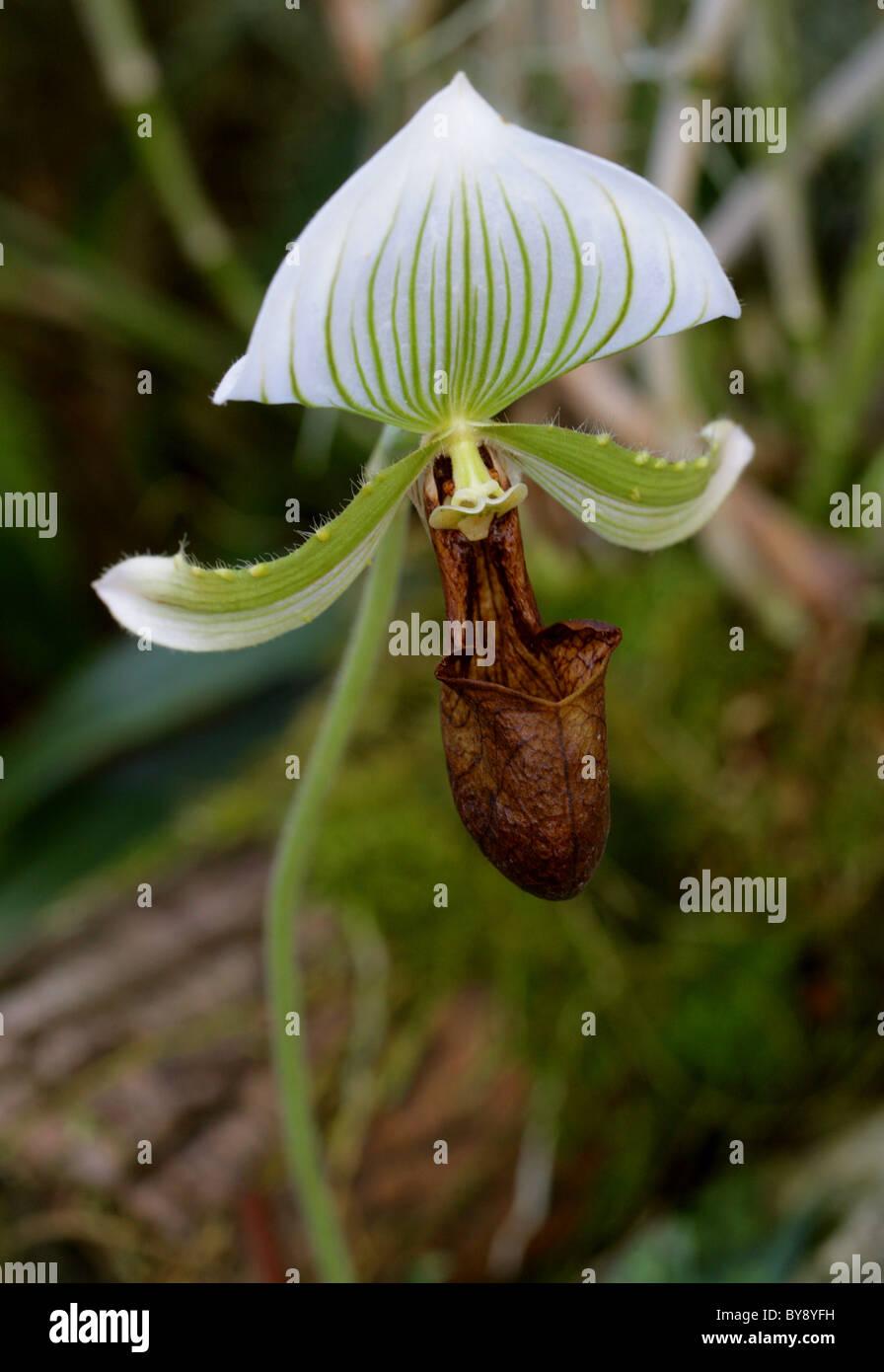 Orchid, Paphiopedilum sp., Orchidaceae - Stock Image