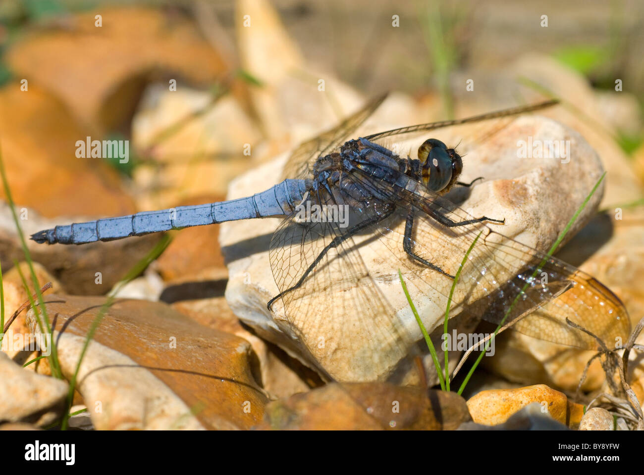 Keeled Skimmer Dragonfly Stock Photo