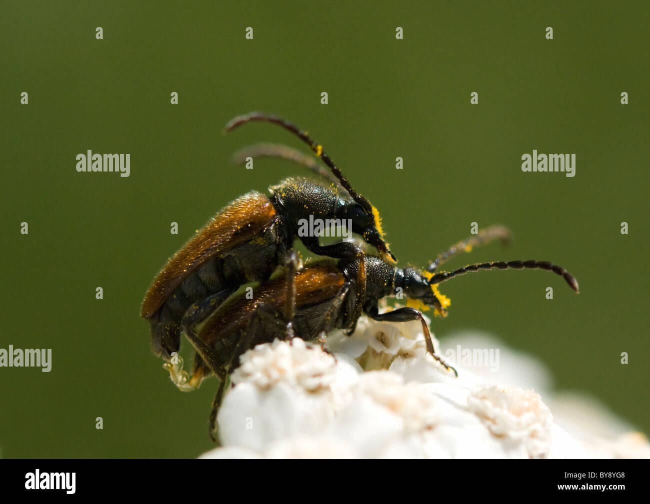 Longhorn Beetles (Strangalia melanura) mating on Hogweed, France - Stock Image