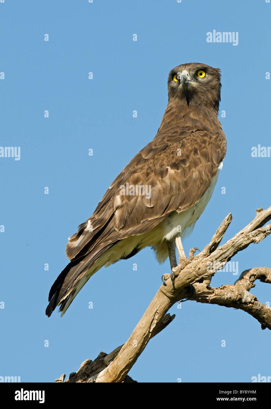 Black-breasted Snake Eagle Stock Photo