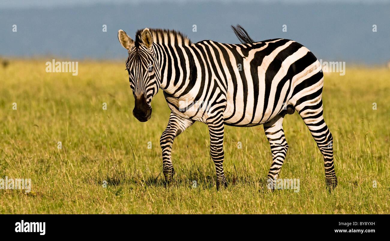 African Zebra Stallion Stock Photo