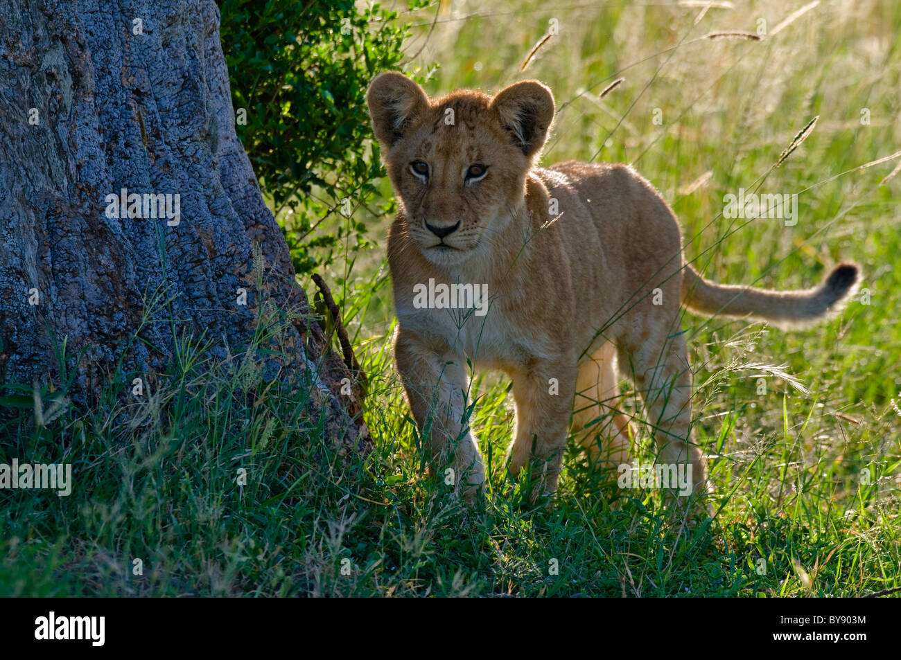 African Lion Cub Stock Photo