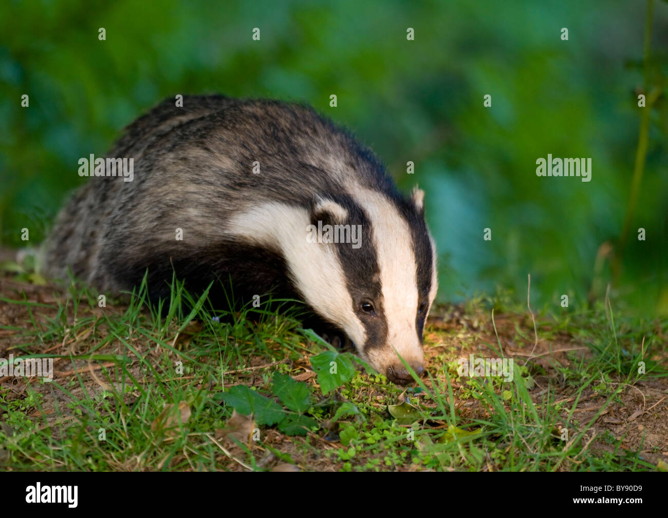 Eurasian Badger Stock Photo