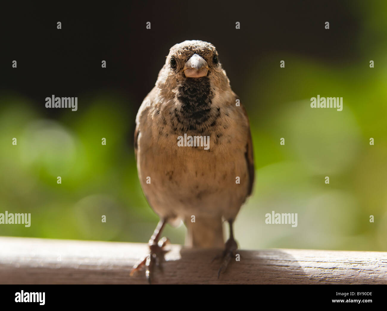 a male sparrow - Stock Image