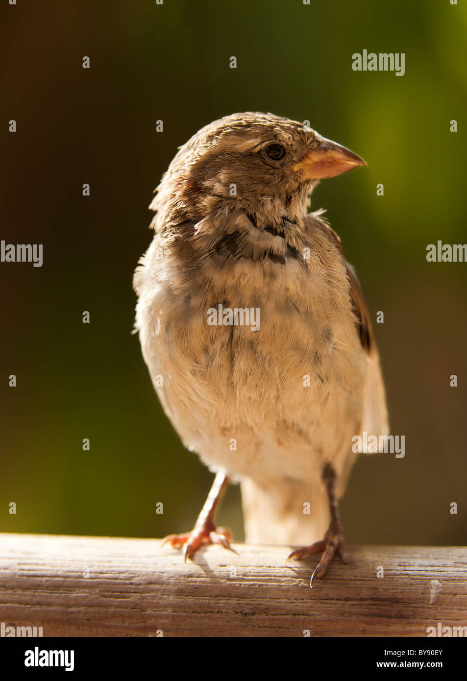 young sparrow - Stock Image