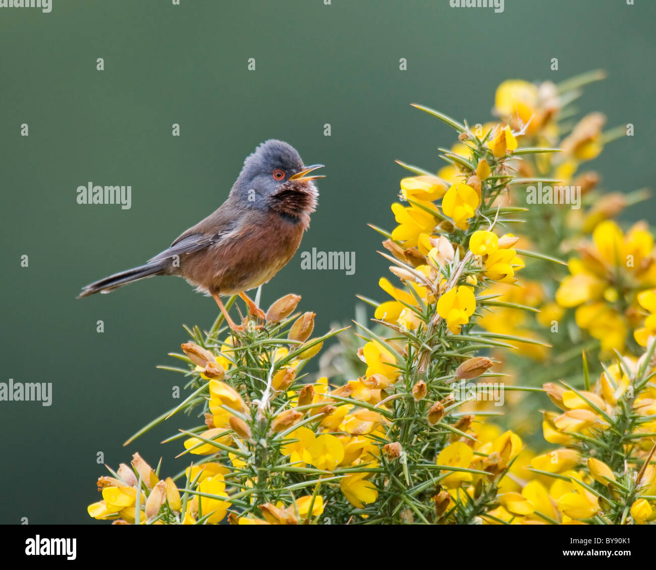 Dartford Warbler - New Forest Stock Photo