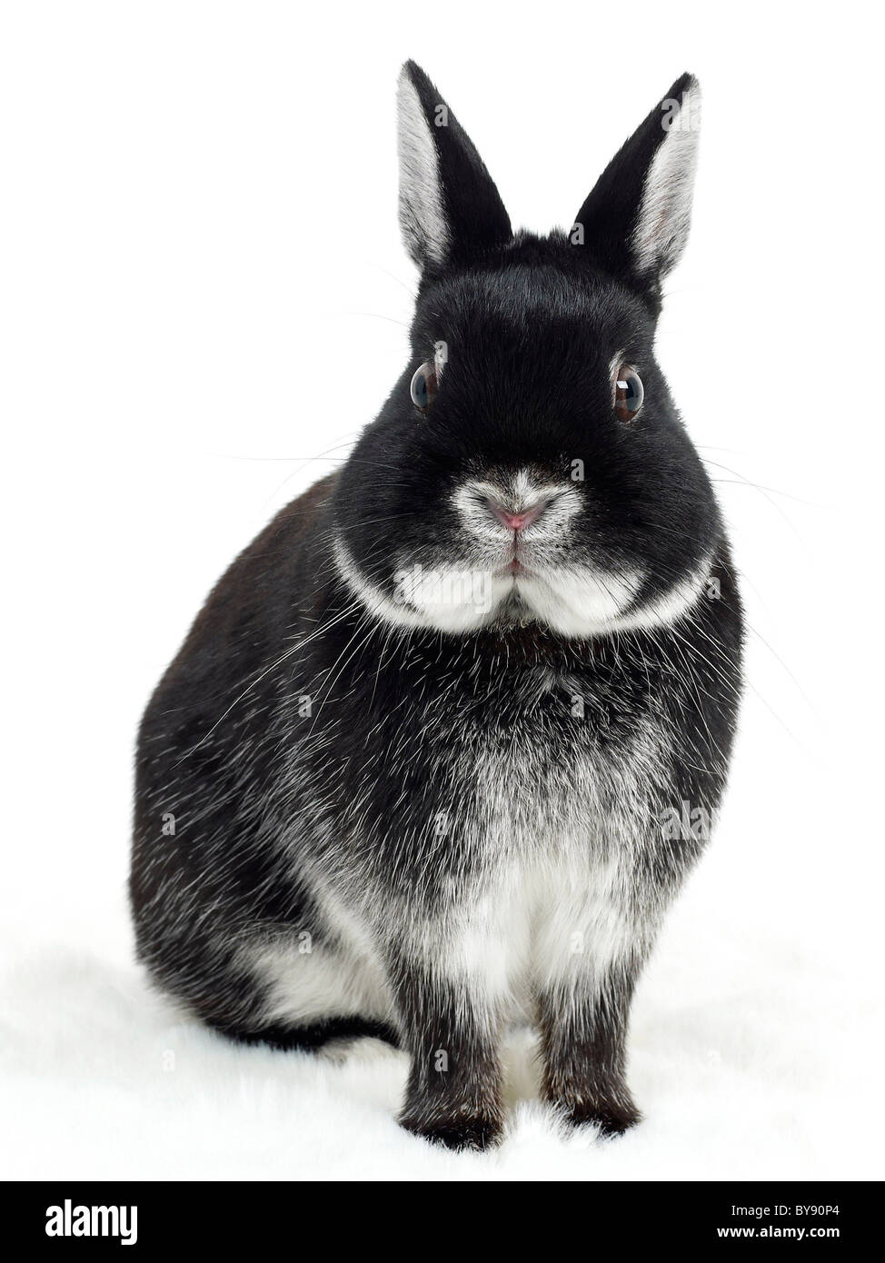 A black and white rabbit looking surprised. - Stock Image