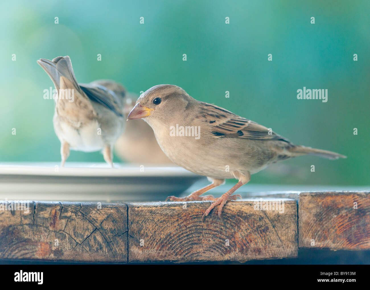 birds on a table - Stock Image