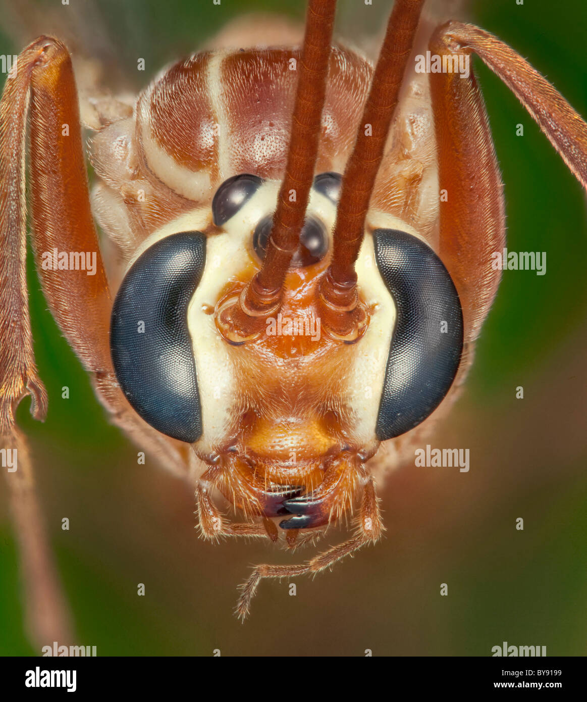 Ophion obscuratus parasitoid wasp, head close-up showing compound and simple eyes - Stock Image