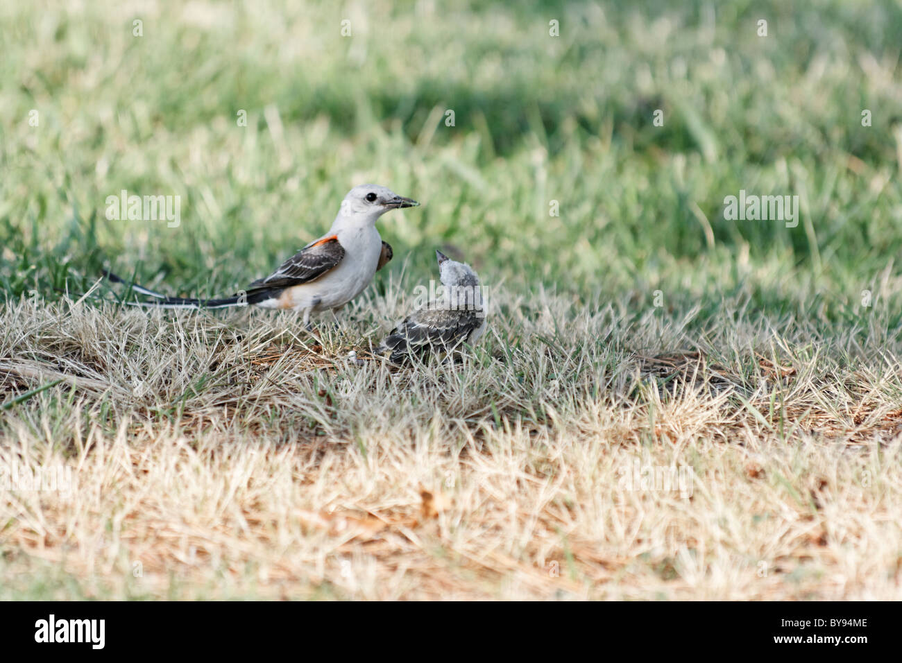 Scissortail flycatcher tending her young - Stock Image