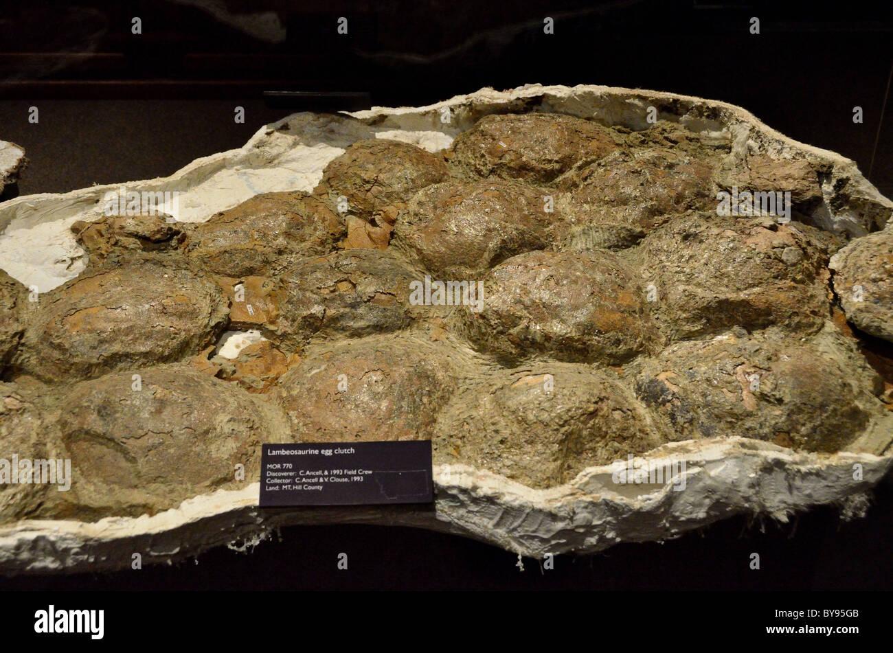 Fossilized Lambeosaurine dinosaur egg clutch. - Stock Image