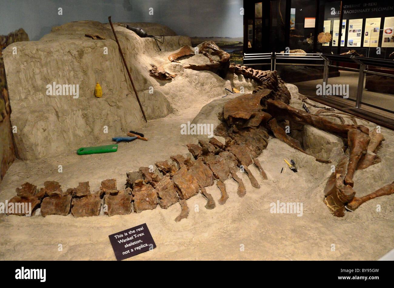 The Wankel T. Rex excavation display. Museum of Rockies. Bozeman, Montana, USA. - Stock Image