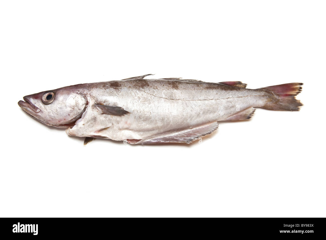 Pollock or Pollack fish isolated on a white studio background. - Stock Image