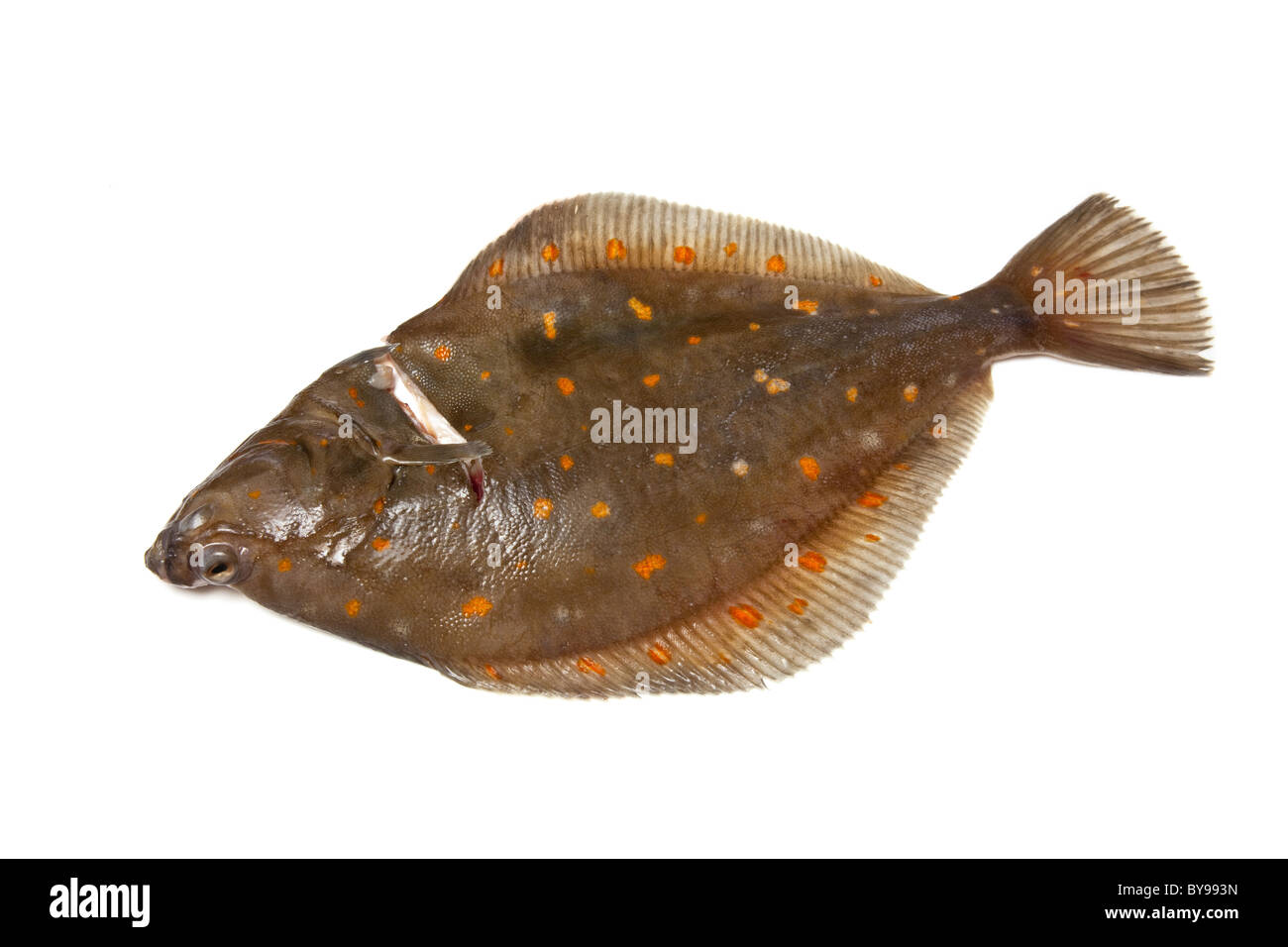 Plaice flatfish isolated on a white studio background. - Stock Image