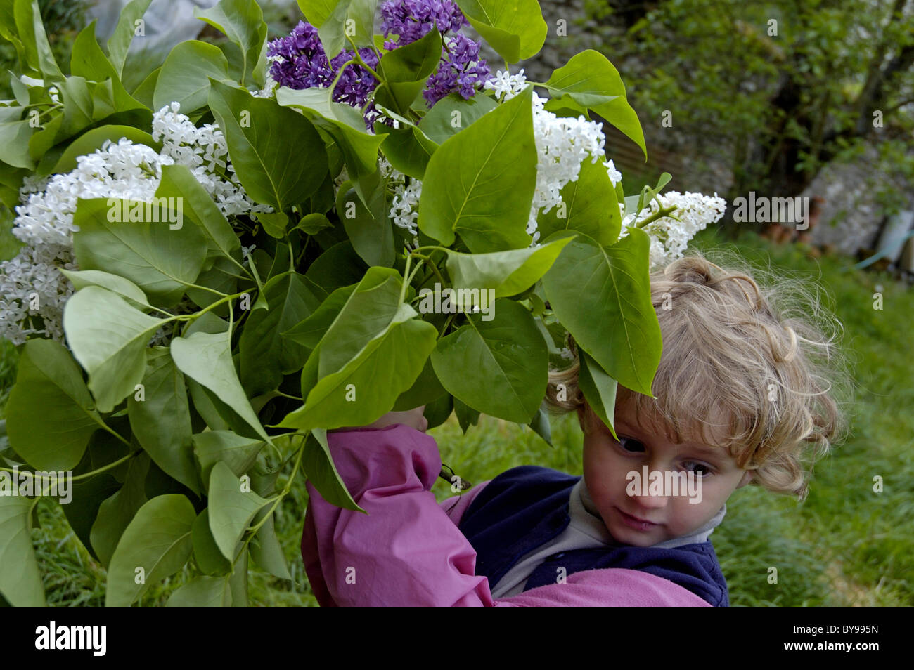 Four year old girl standing next to a lilac (Syringa) bush in the garden, France. Stock Photo