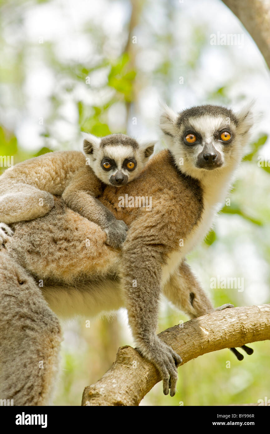 Ring-tailed lemur (lemur catta) with a baby on her back in the Anja private community reserve in southern Madagascar. - Stock Image