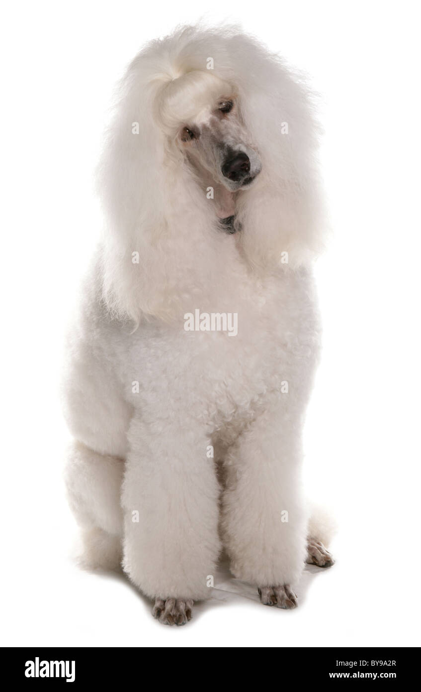 Standard White Poodle Single Adult Dog Sitting Studio - Stock Image