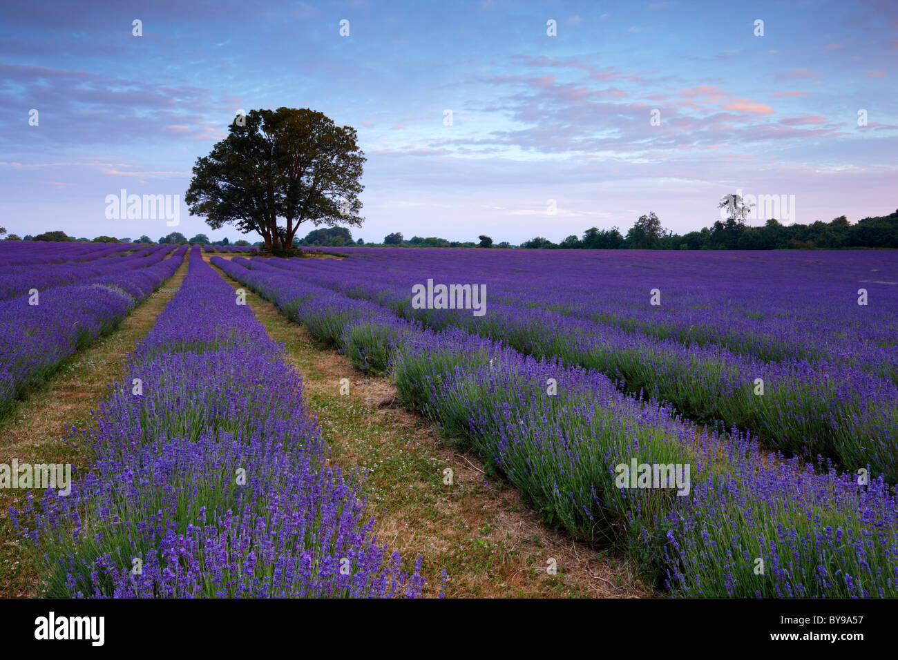 Organically grown lavender field. The scent from the flowers fills the morning air with a beautiful perfume. - Stock Image