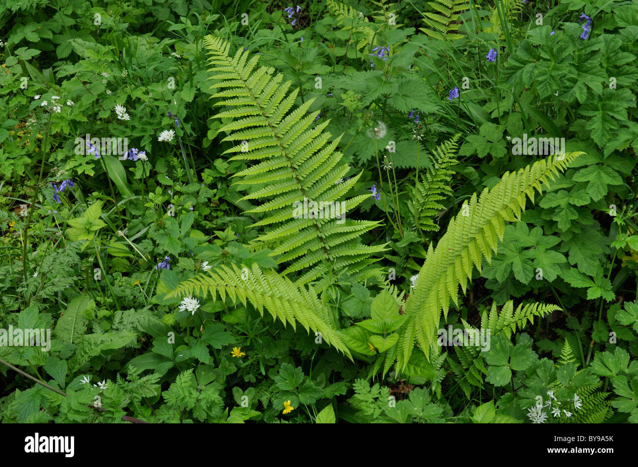 Ferns in the Aber Mawr area of Pembrokeshire, Wales, UK - Stock Image