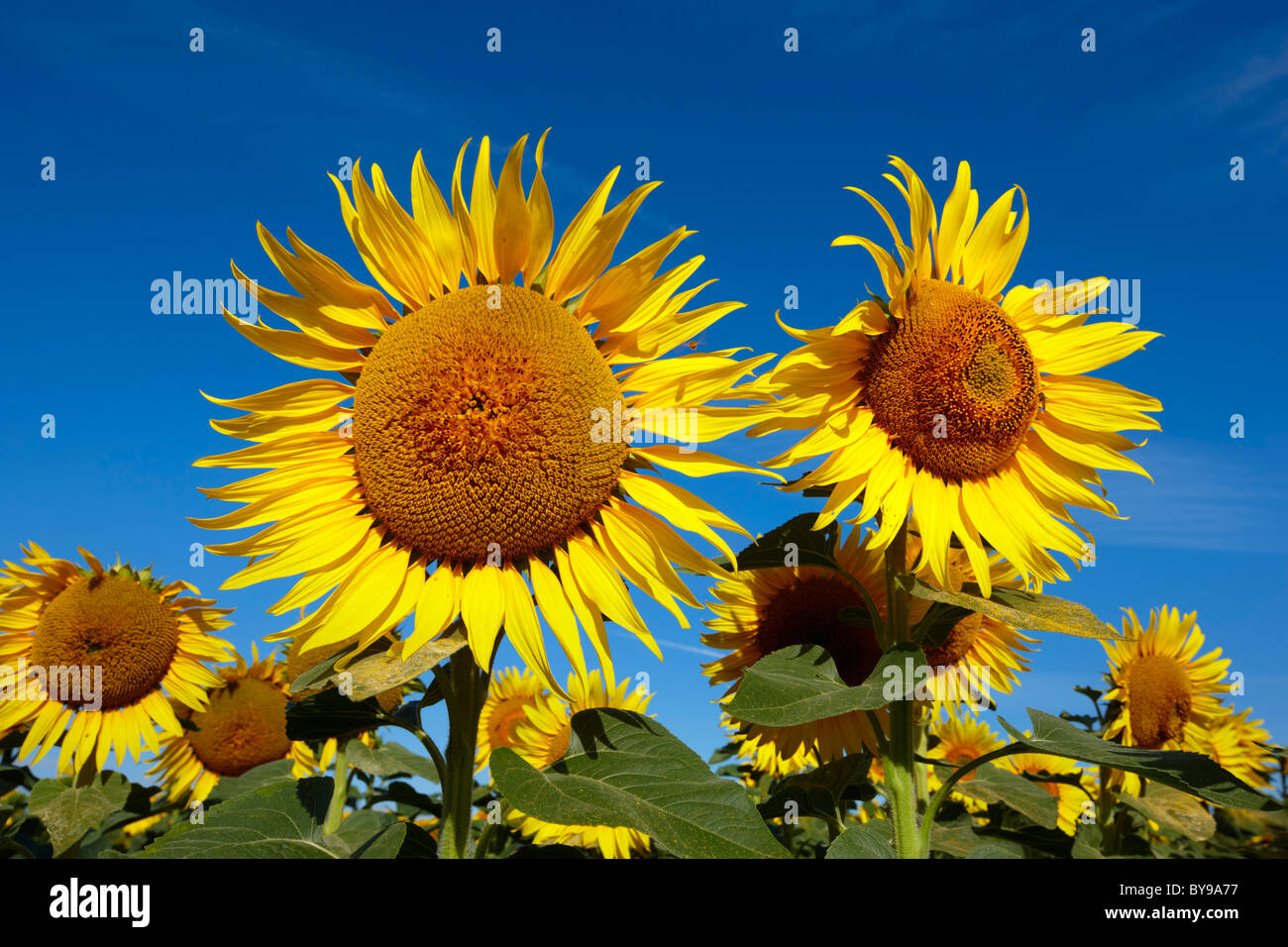 Blue sky with sunflowers. - Stock Image