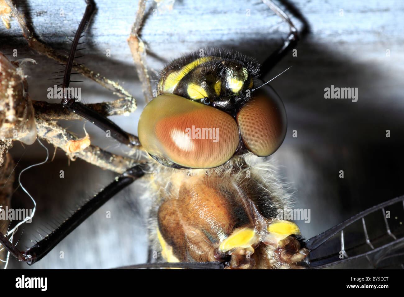 Compound eyes on a dragonfly - Stock Image