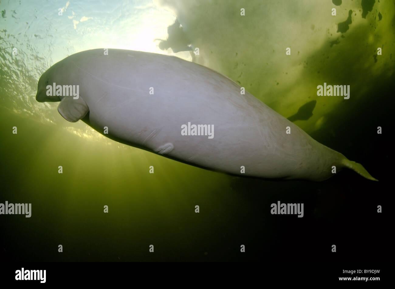 Beluga swims under ice. white whale, Delphinapterus leucas - Stock Image
