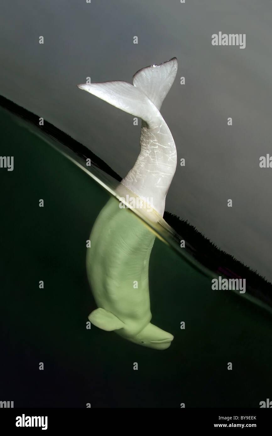Split level, Beluga, white whale (Delphinapterus leucas) - Stock Image