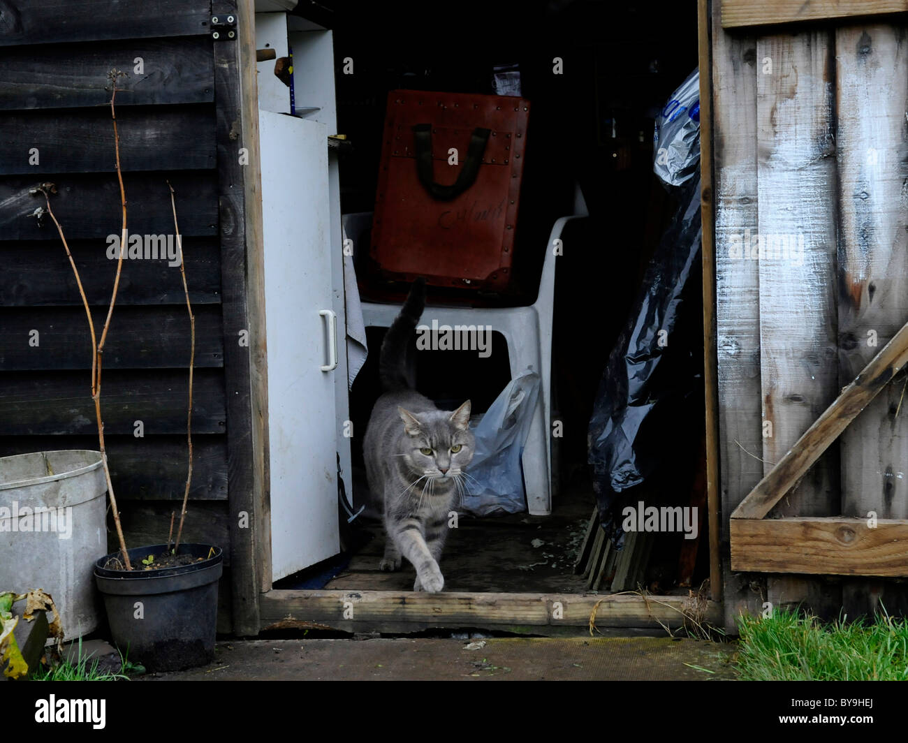 A cat in a shed on the alottment. - Stock Image