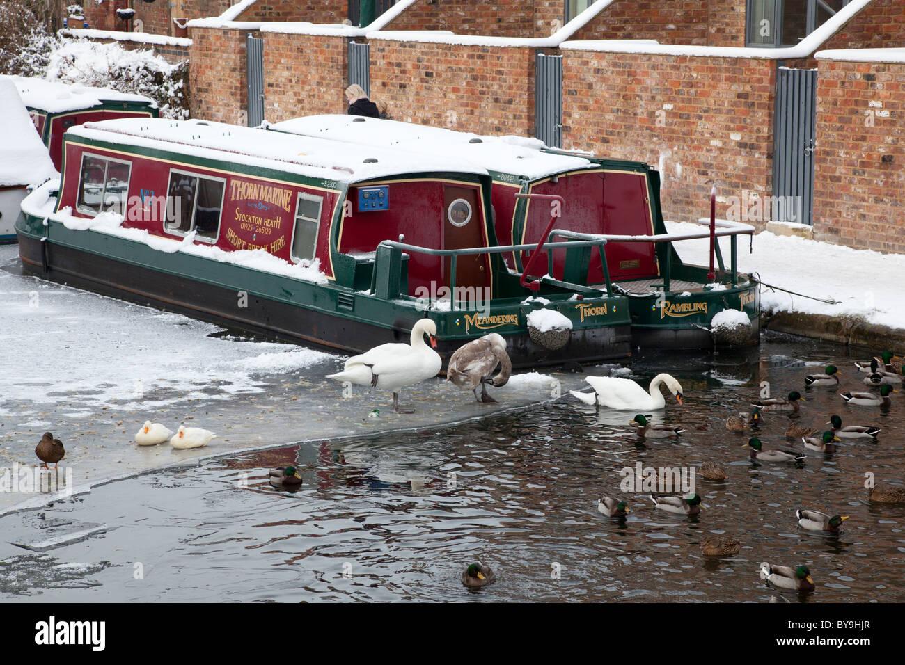 Swans, ducks and narrowboats on the frozen Bridgewater Canal at Stockton Heath, Cheshire - Stock Image