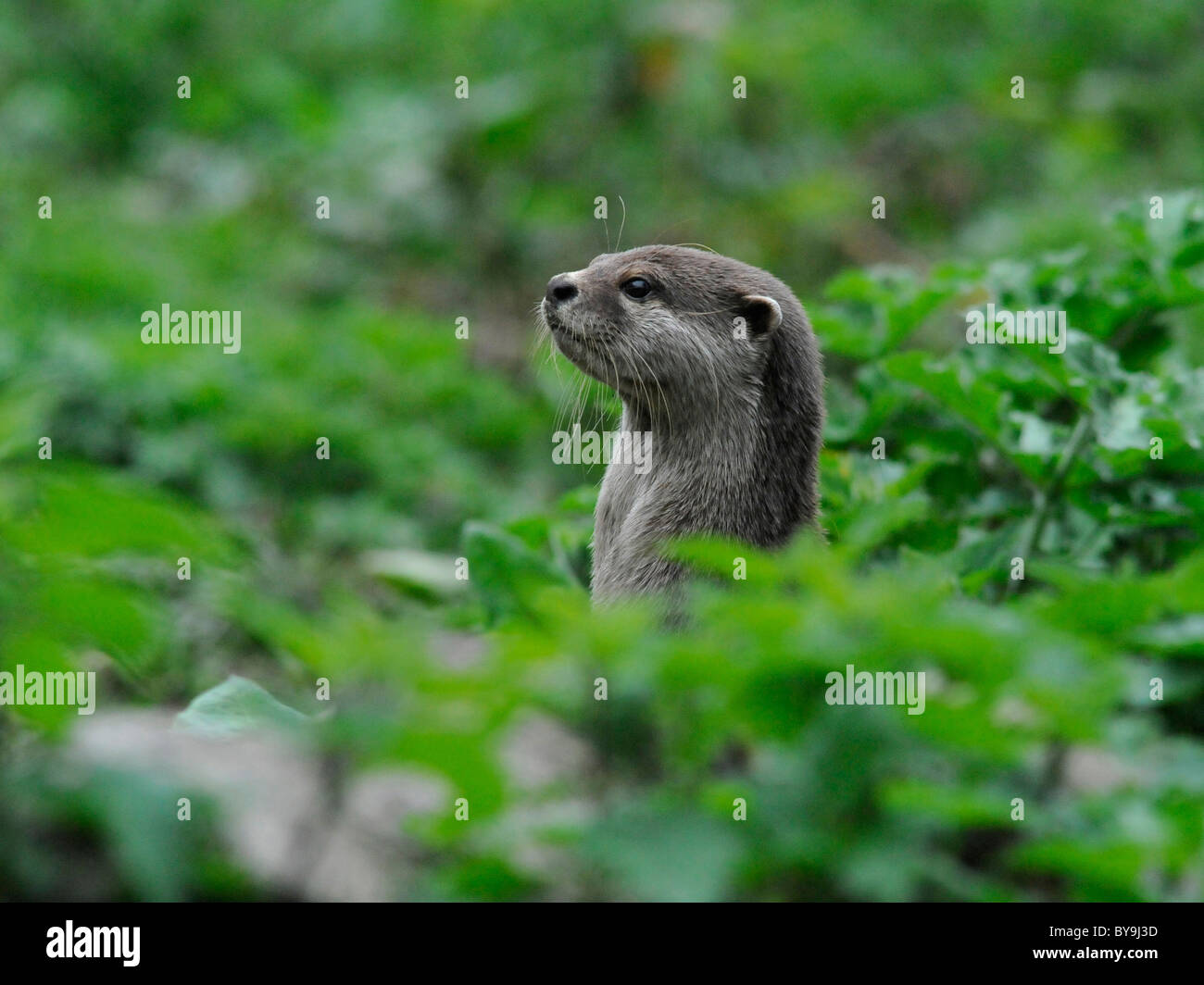 A wild otter popping his head out from the undergrowth. Stock Photo