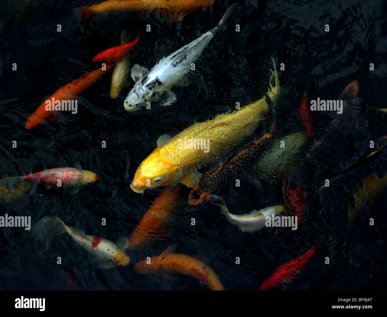 A selection of koi carp in a pond. - Stock Image