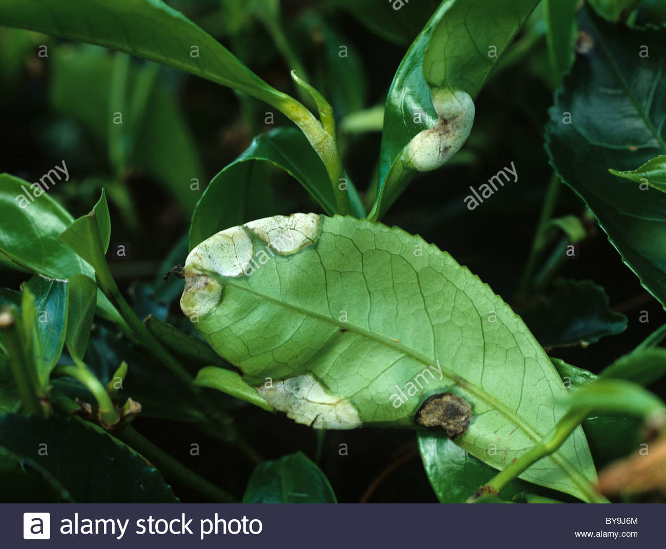 Blister blight (Exobasidium vexans) blisters on tea leaves - Stock Image