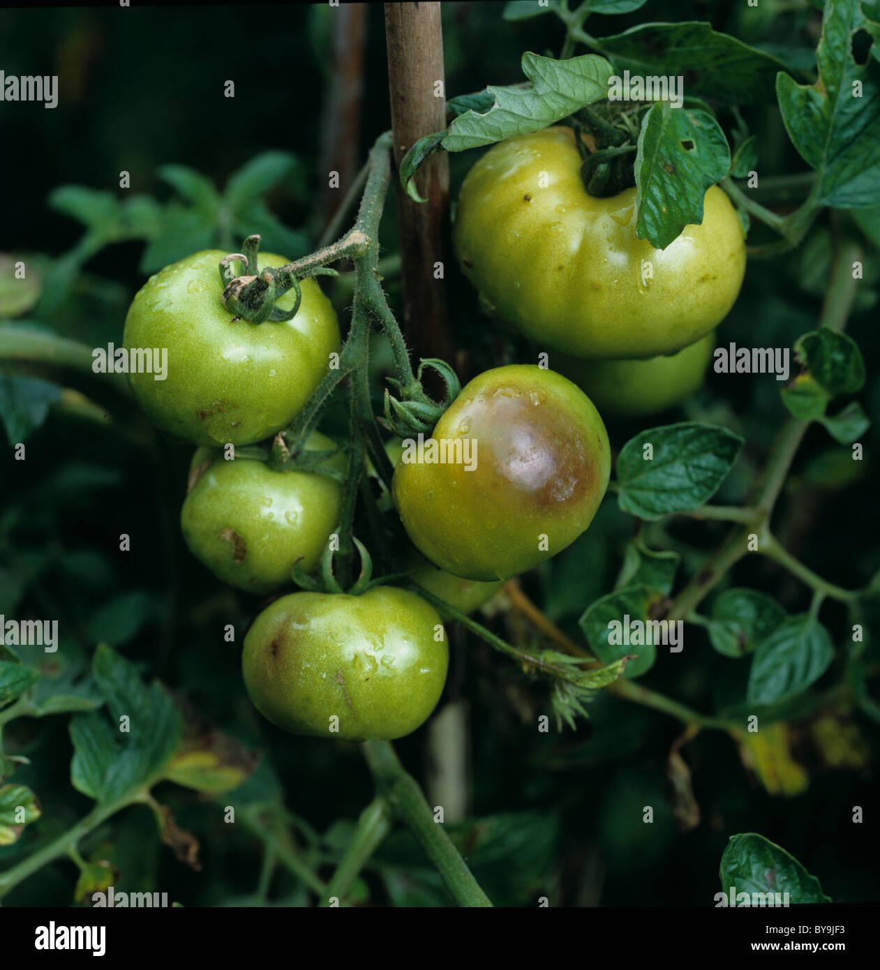 Tomato late blight (Phytophthora infestans) damage to unripe glasshouse tomatoes - Stock Image