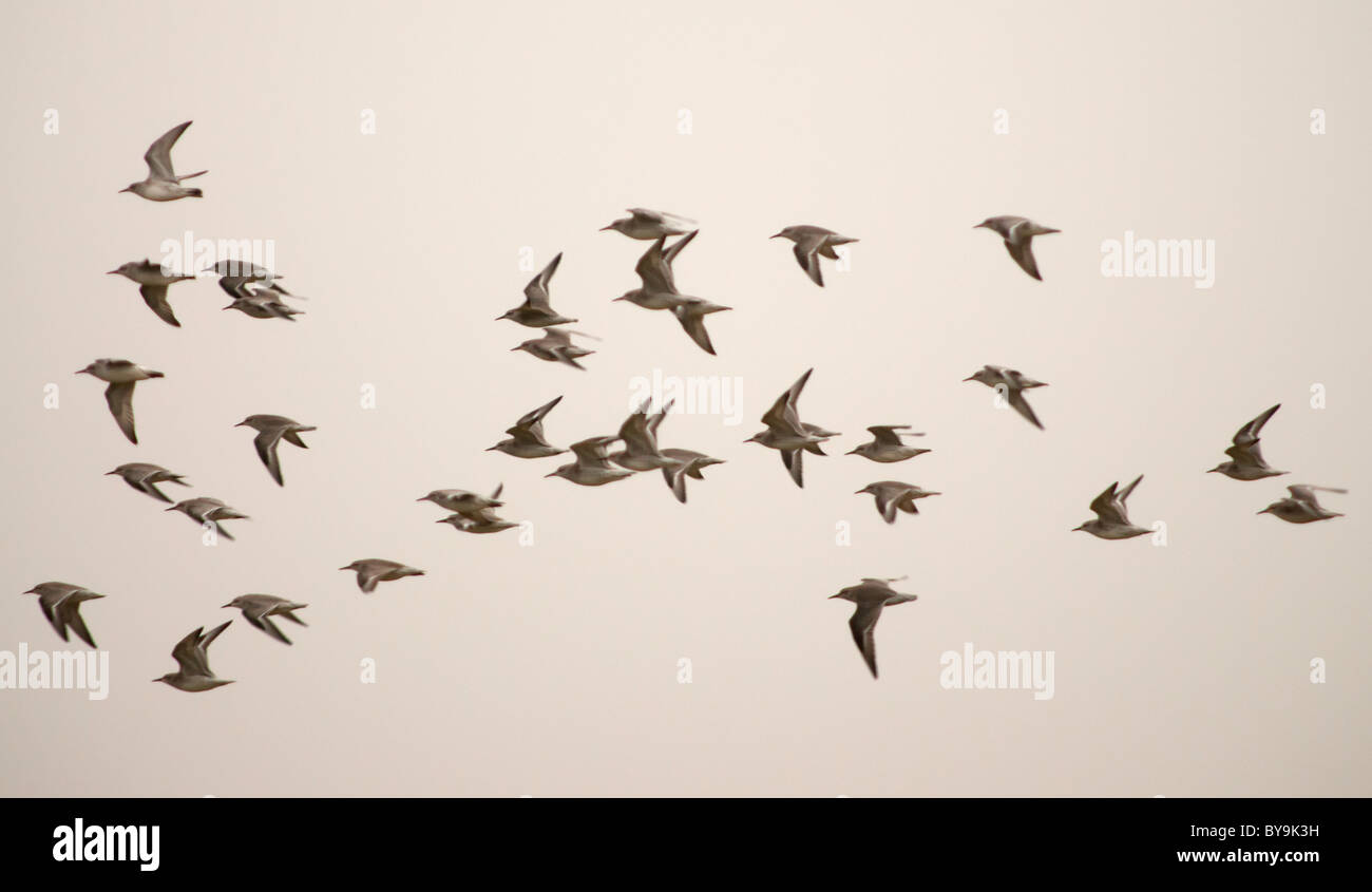 Flock of Knot, Calidris Canuta leaving roost during a Spring high tide at Snettisham, Norfolk - Stock Image