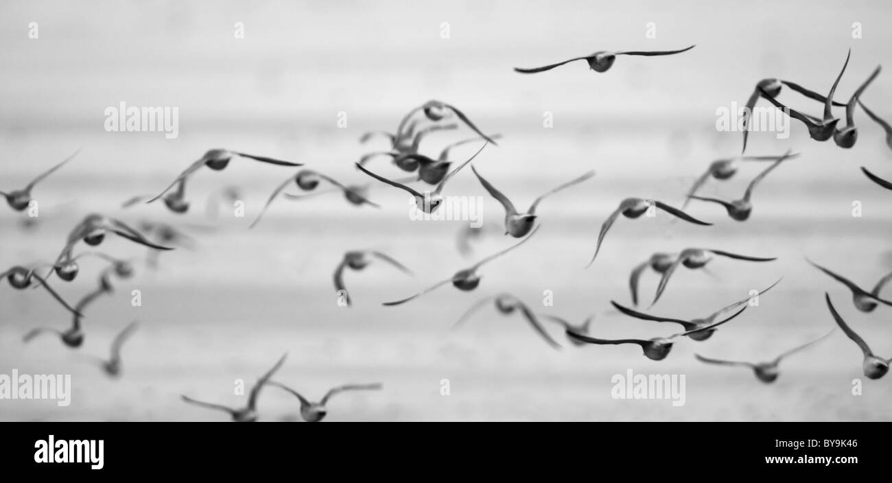 Mono image of a Flock of Knot, Calidris Canuta leaving roost during a Spring high tide at Snettisham, Norfolk - Stock Image