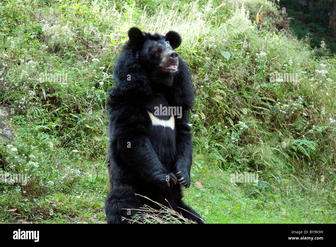 An Asian black bear in its Darjeeling zoo enclosure appears to be begging for food from onlookers - Stock Image