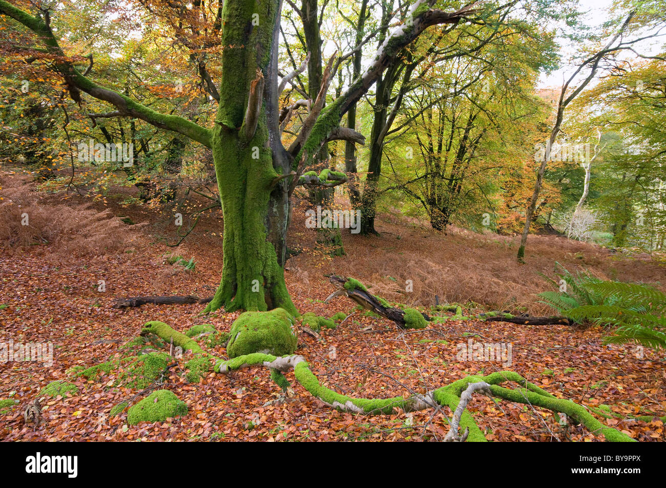 autumn colour and beech trees in Castramon Wood by Gatehouse of Fleet, nature reserve - Stock Image