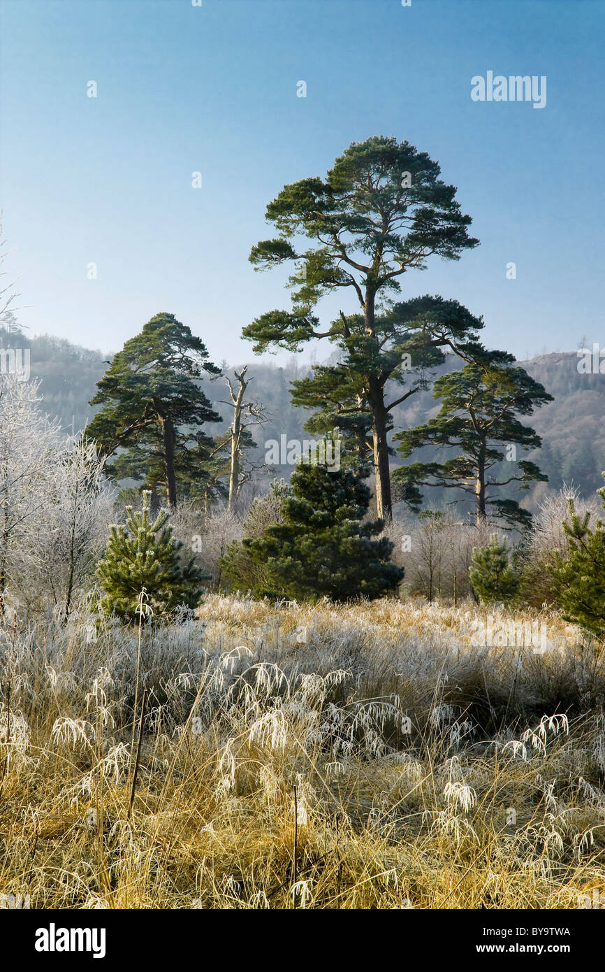 Scots Pine plantation near Palnackie, Galloway - Stock Image