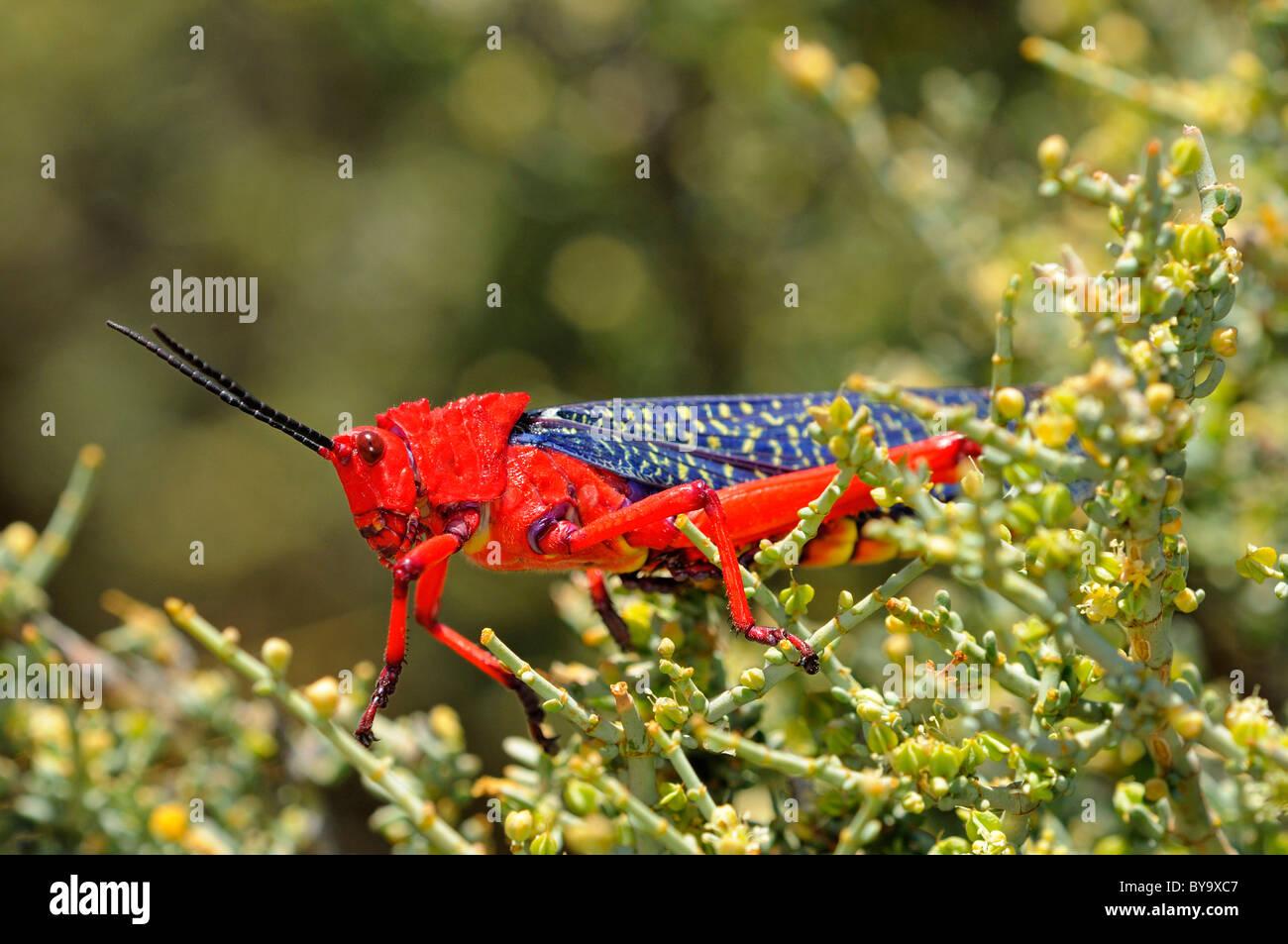 Common milkweed locust, Goegap Nature Reserve, Namaqualand, South Africa - Stock Image
