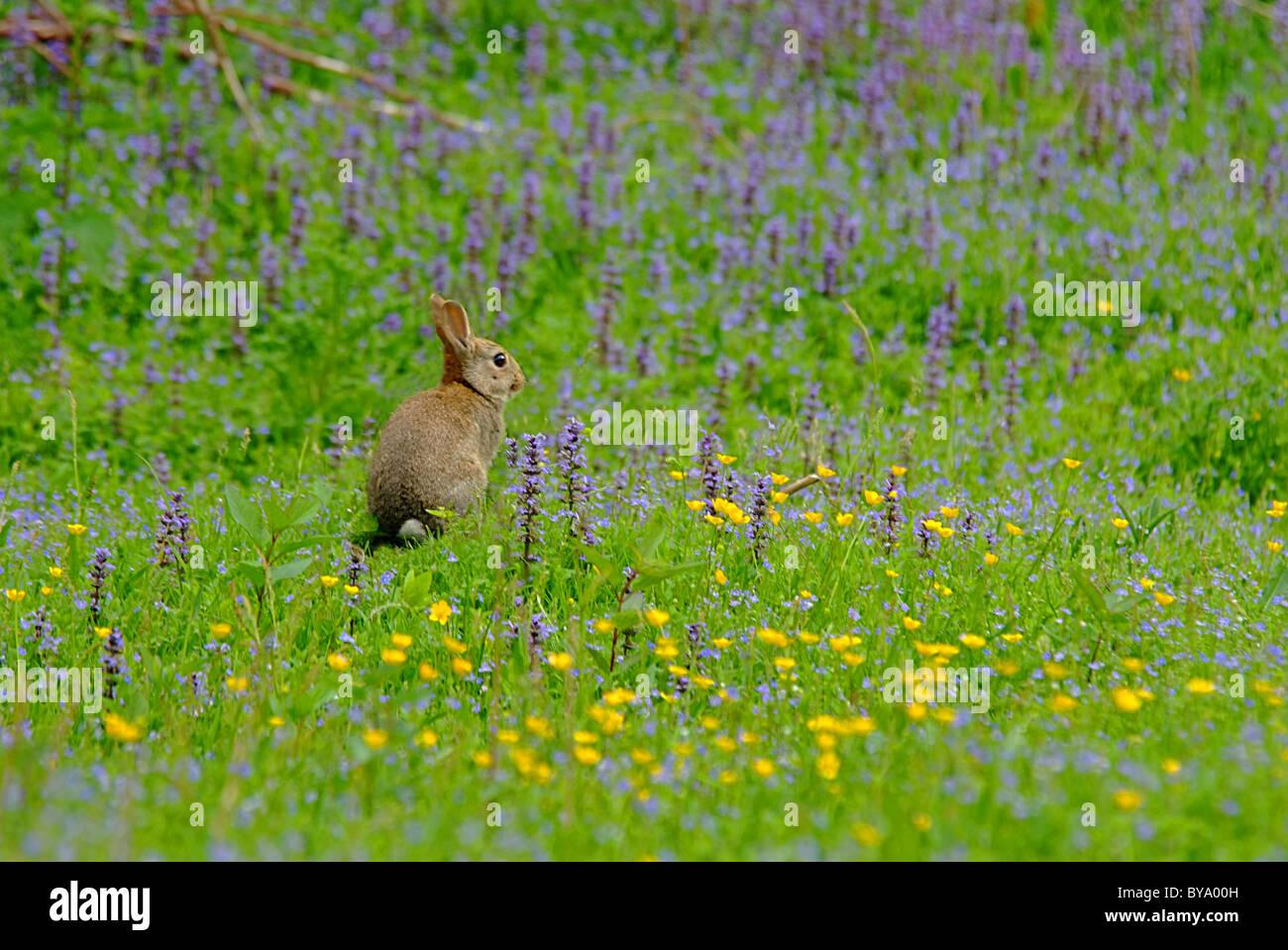 Rabbit in meadow - Stock Image