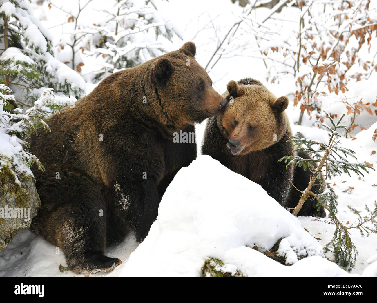 Brown bears (Ursus arctos), gently boar and sow in the snow - Stock Image
