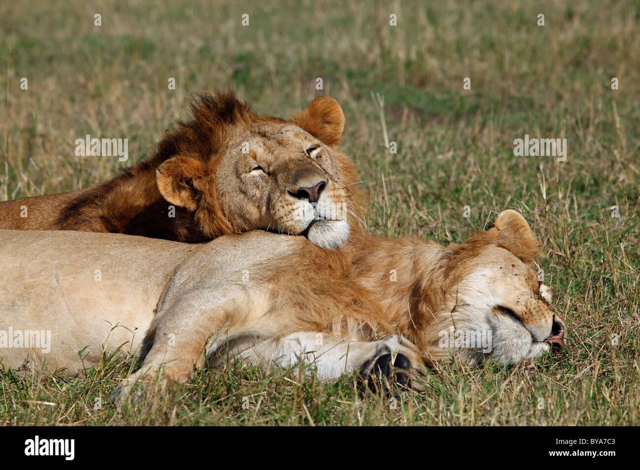 Two sleeping lions (Panthera leo), male, Masai Mara, Kenya, Africa - Stock Image