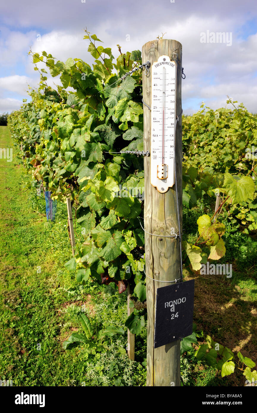 A winemakers thermometer at the end of a row of Rondo grapes in a vineyard near Exeter Devon UK - Stock Image