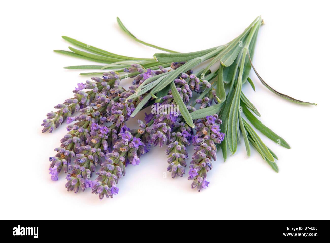 Lavendel freigestellt - lavender isolated 02 - Stock Image