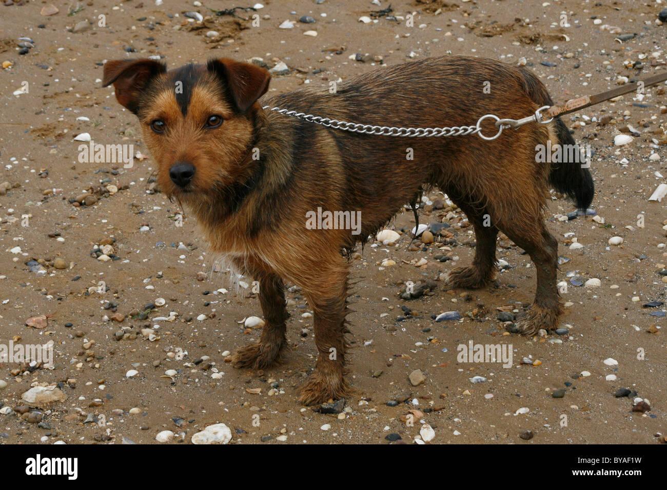 muddy dog on cleethorpes beach - Stock Image