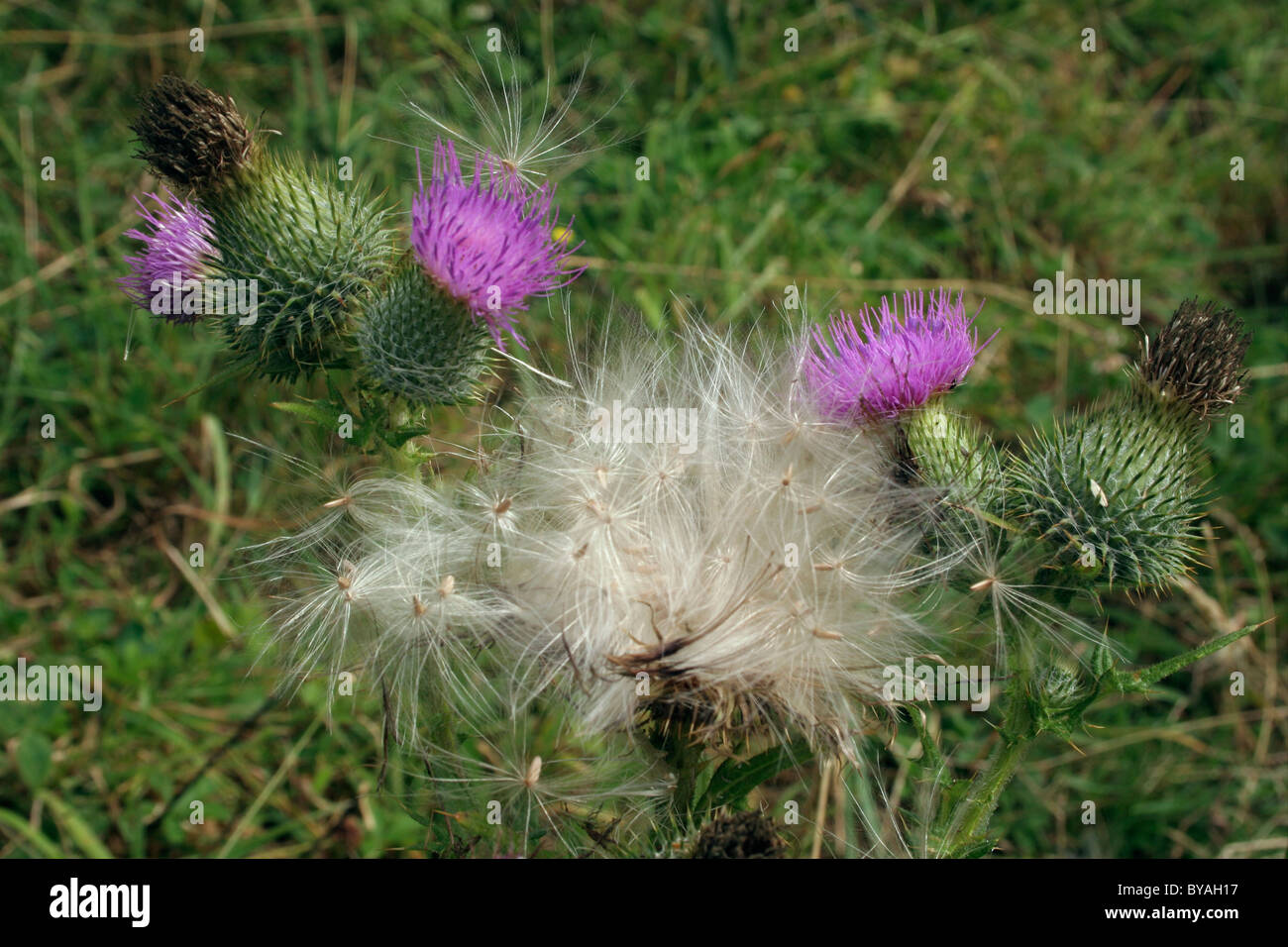 Spear thistle (Cirsium vulgare : Asteraceae) in flower and releasing fruits, UK. - Stock Image