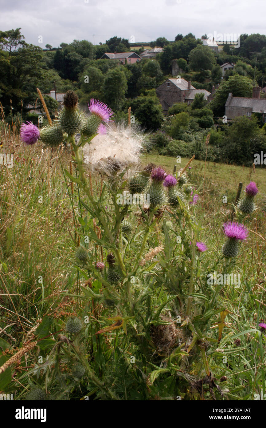 Spear thistle (Cirsium vulgare : Asteraceae), in flower and releasing fruits, UK. - Stock Image
