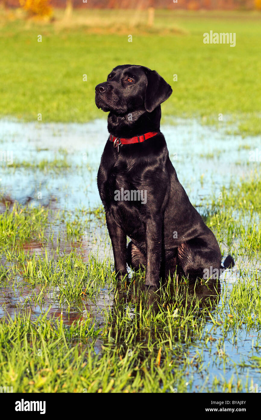 Black Labrador Retriever dog (Canis lupus familiaris), male, sitting in a wet meadow in autumn - Stock Image