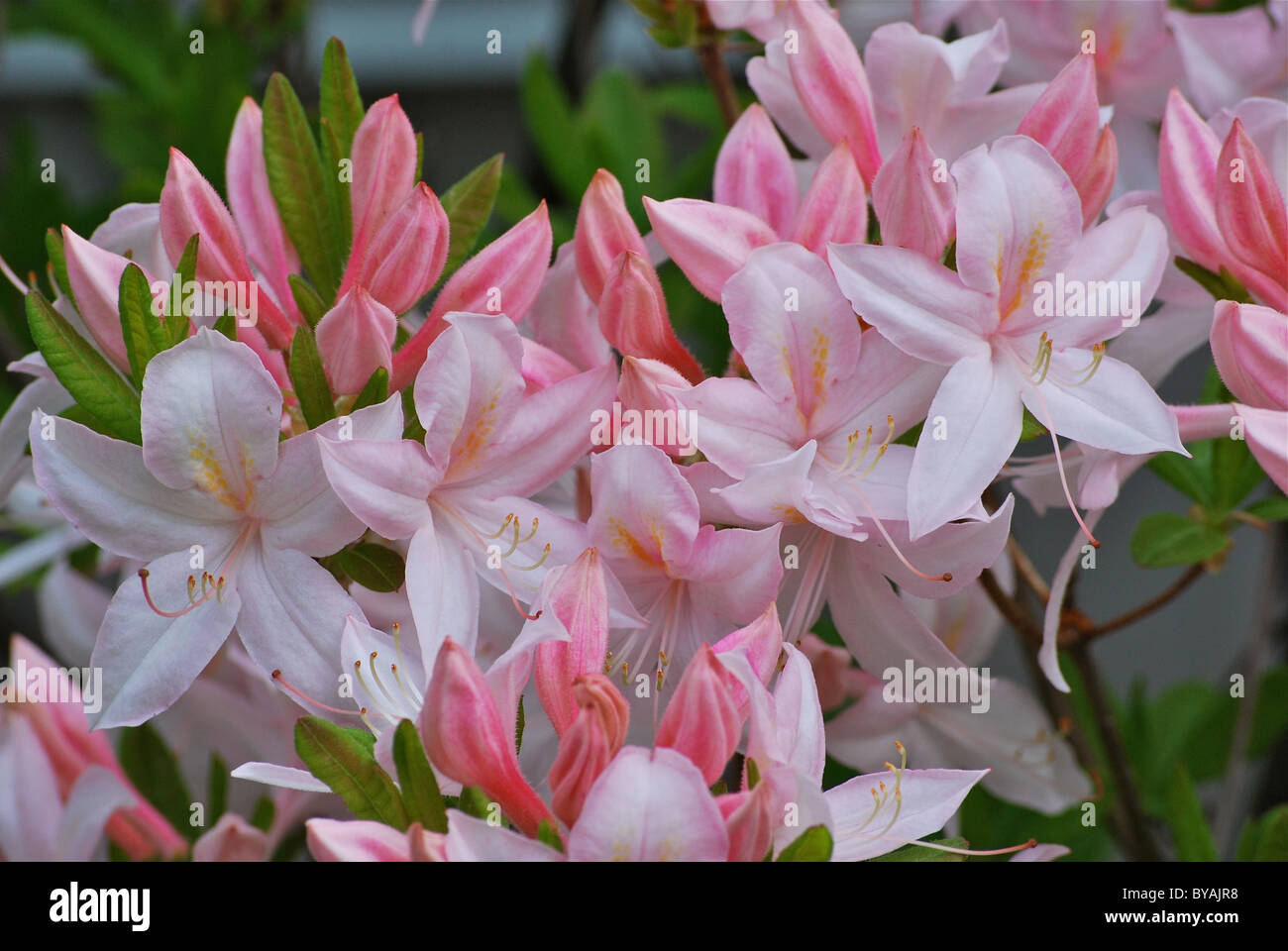 A Pink Rhododendron Stock Photo
