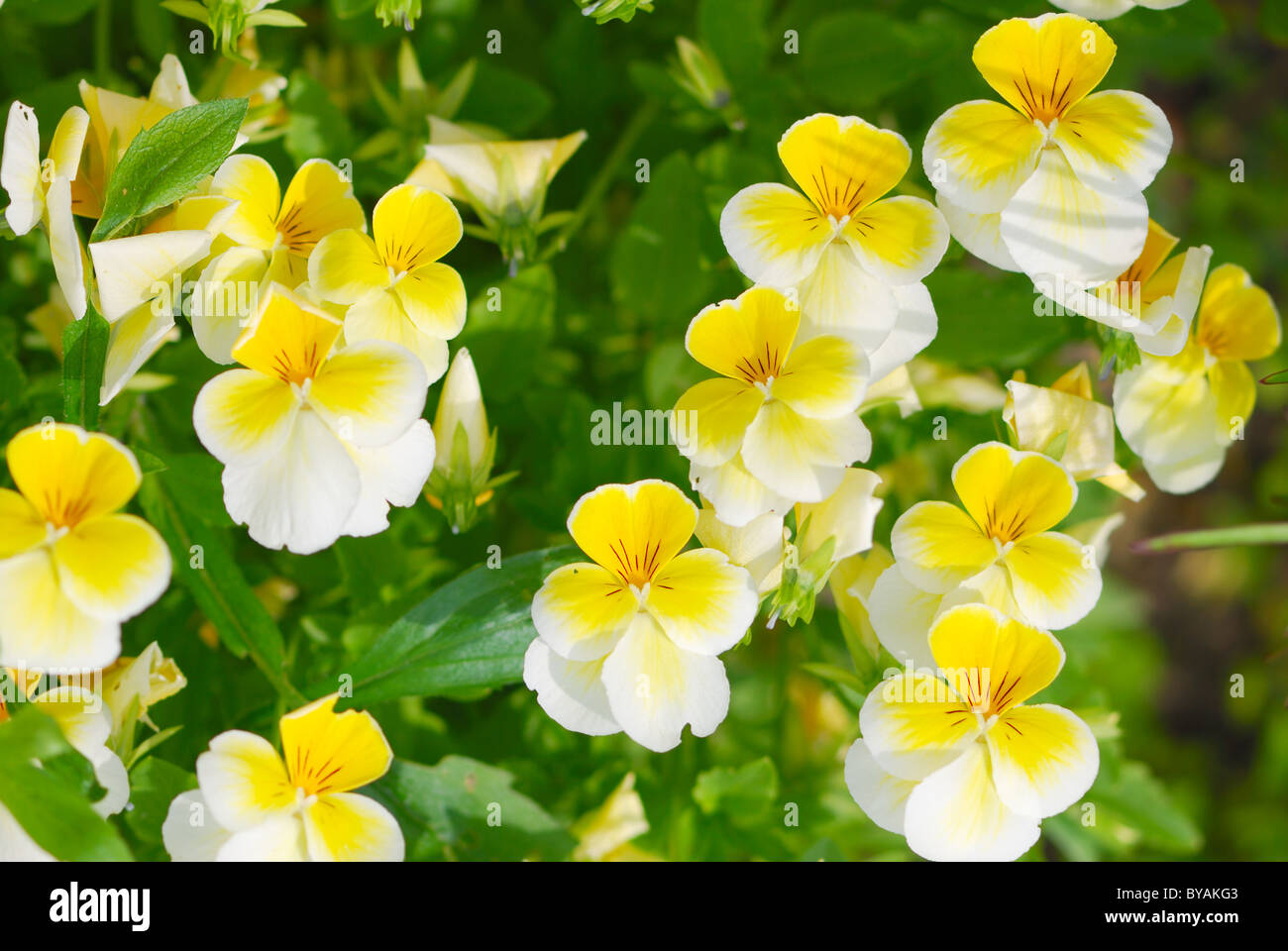 bright yellow viola tricolor in a sunny day - Stock Image